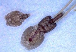 Kan atlantisk laks bli resistent mot lakselus?