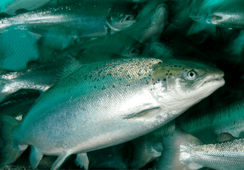 Farmed salmon have smaller eyes, say researchers