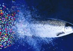 Tilmicosina: El nuevo antibiótico que está  probando la salmonicultura chilena