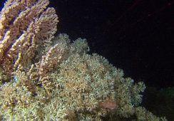 – Dette skal bli bra for både koraller og oppdrettere