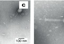 Científicos chilenos descubren bacteriófagos con actividad lítica para Aremononas atípica