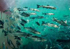Hva skal framtidens oppdrettsfisk spise?
