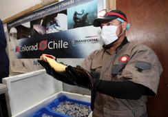Colorado Chile alista producción comercial de su congrio de cultivo
