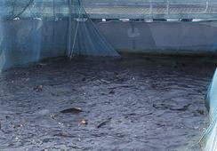 – Et svik mot millioner av fisk