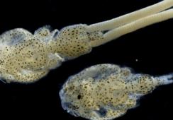 Chilenos crean proteína quimérica que ayudaría al control de patógenos acuícolas