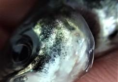 Demuestran que dieta funcional controla el acortamiento opercular en peces