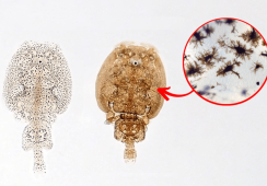 Study sheds sunlight on mystery of transparent lice