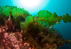 Taredyrking gir truleg mindre miljørisiko enn fiskeoppdrett