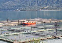 Reportan que uso de antibióticos se incrementó en la salmonicultura chilena