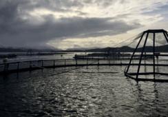 Høyt lusenivå på Svanøy-lokalitet