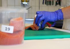 Har sjekket norsk oppdrettsfisk for uønskede stoffer- Fant ingen overskridelser