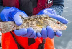FHF cleaner fish guidelines now available in English