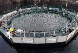 Closed-cage smolt experiment pays off