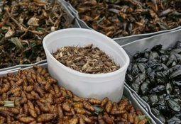 Ny veileder om oppdrett av insekter til fôr