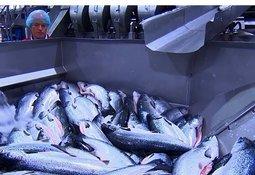 Ny teknologi gjør frossenfisken fersk