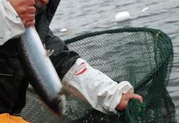 Åpner for fiske etter rømt oppdrettslaks i Møre og Romsdal