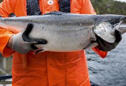 """– En kombinasjon av PD og """"haustsjuke"""" tar livet av fisken"""