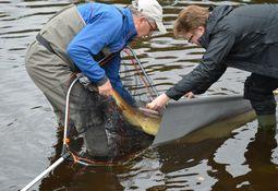 Overvåkingsprogrammet for rømt oppdrettsfisk konkluderer med stor bedring i elvene