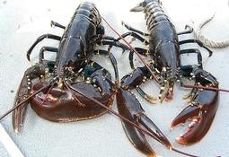 Fiskeridirektoratet skal finne årsaken til at hummere døde