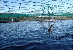 FHF lyser ut inntil 6 millioner kroner til prosjekt på fiskevelferd hos laks i matfiskanlegg