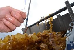 Analyse av tare som ingrediens i fiskefôr