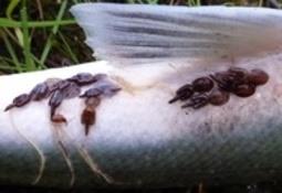 Nyutviklet vaksineprototyper for ulike virus og fiskearter