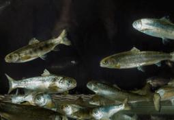Skal samle kunnskap om fiskevelferd i håndbok