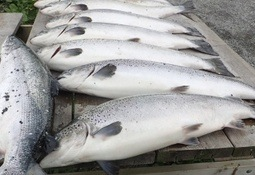 God opplæring, kommunikasjon og planlegging er viktig for å forhindre rømming av fisk