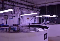 Marine Harvest bygger opp rensefisk-kapasiteten