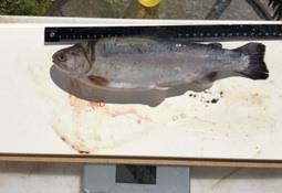 600 fisk gjenfangsta etter rømming