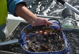 Regionale forskjeller gjør at HI ikke anbefaler å åpne fisket før 17 juli
