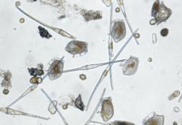 Nær lansering av varsel for skadelige alger mot havbruk