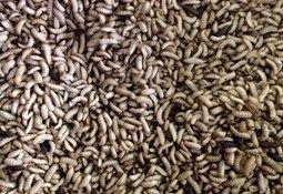 Insekterfôr godkjent for bruk i EU