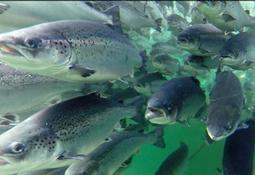 Risiko for smitte mellom oppdrettsfisk og villfisk