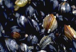 Ny dødelig parasittsykdom funnet i blåskjell i Norge