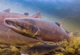Har tatt ut fisk fra 37 vassdrag