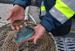 Flere fisker ut rensefisken før operasjoner i merd