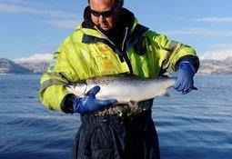 Ingen overskridelser i miljøgifter hos oppdrettsfisk