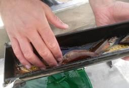 Over fem millioner leppefisk fisket på drøye tre uker