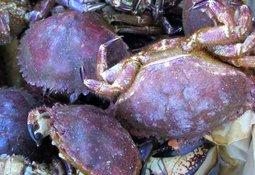 Ny forskning: Bademidler mot lus påvirker krabbelarver også i lave doser