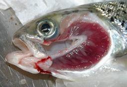 Fiskehelsetjenester stadfester risikoperioden for AGD som overstått