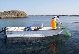 Kraftig reduksjon i leppefiskfangst neste år
