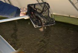 Vil automatisere forflytning av fisk mellom oppdrettskar i settefiskanlegg