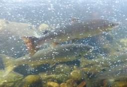 Lavt innslag av rømt laks i elver