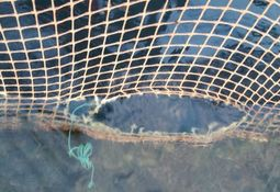 Dawnfresh loses 5,400 trout through hole in new net