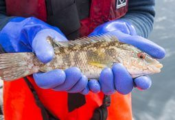 Big fall in medicinal spend in sea lice battle