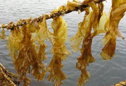 Flying the FLAG for seaweed farm