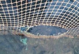 Dawnfresh reports Loch Etive trout escape