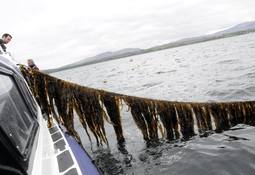 Scots launch free seaweed cultivation course
