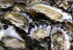 Scottish DNA chip can boost oyster yields